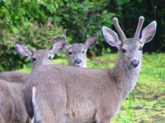 Small herd of Black-tailed deer, Port Orford, Oregon - Click for larger image (http://jamesmcgillis.com)