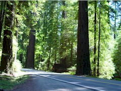 Giant Coastal Redwoods line the Avenue of the Giants - Click for larger image (http://jamesmcgillis.com)