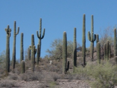 Saguaro Cactus garden, Interstate Hwy. I-17, north of Phoenix, AZ - Click for larger image (http://jamesmcgillis.com)