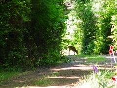 A Blacktail deer grazing in the driveway - Port Orford, Oregon - Click for larger image (http://jamesmcgillis.com)