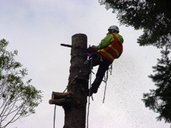 Blue Sky Tree Service specialist uses a chainsaw to cut down a dead 100-year-old Port Orford Cedar - Click for larger image (http://jamesmcgillis.com)