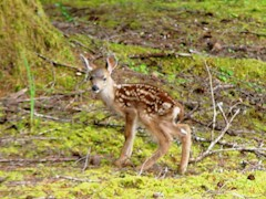 Black-tailed deer fawn, Port Orford, OR - Click for larger image (http://jamesmcgillis.com)