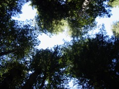 Looking up to the Redwood rainforest canopy, U.S. Highway 101 - Click for larger image (http://jamesmcgillis.com)