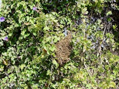 Honeybees swarm from the nest to nearby foliage - Click for larger image (http://jamesmcgillis.com)