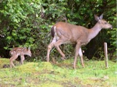 Black-tailed doe and fawn, Port Orford, OR - Click for larger image (http://jamesmcgillis.com)