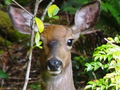 Female black-tailed deer peers from forest foliage, Port Orford, OR - Click for larger image (http://jamesmcgillis.com)