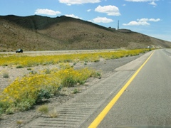 Wildflowers bloom along I-40 summit, near Ludlow, CA - Click for larger image (http://jamesmcgillis.com)