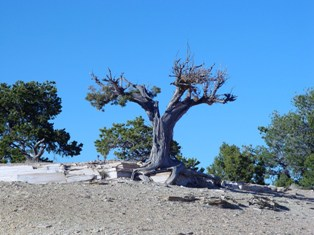 Old Juniper tree near I-70, Central Utah - Click for larger image (http://jamesmcgillis.com)