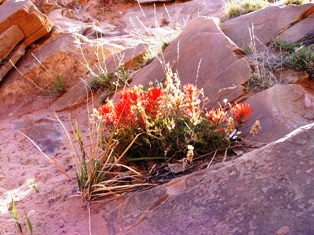 Photo of Desert Paintbrush in bloom, Millcreek Canyon, Moab, Utah - Click for larger image. (http://jamesmcgillis.com)