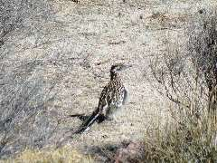 On a cold Mojave Desert morning, a roadrunner visited my campsite - Click for larger image (http://jamesmcgillis.com)