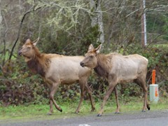 Two more members of the Redwood Elk Herd trot north along the highway - Click for larger image (http://jamesmcgillis.com)