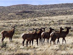 The Kin Klizhin elk herd closes ranks before departing towards Chaco Canyon - Click for larger image (http://jamesmcgillis.com)