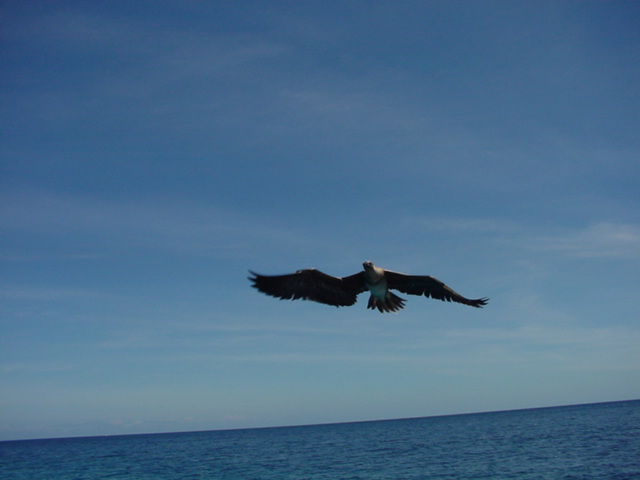 Lesser Frigate Bird over Namena Island, Fiji - Click for larger image (http://jamesmcgillis.com)