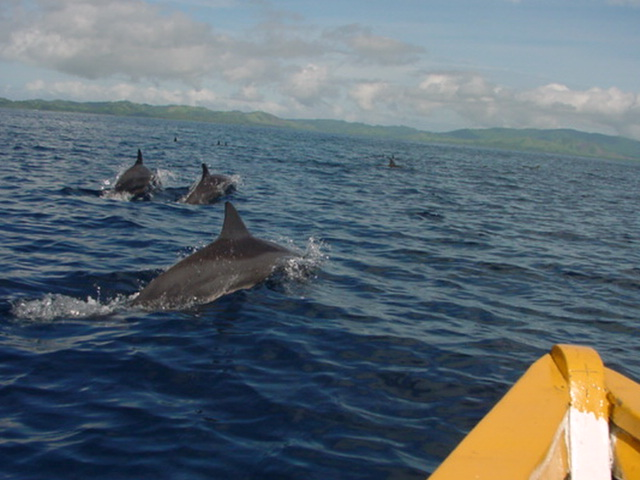 Spinner Dolphins frolic near the head of Natewa Bay, in an area planned for artificial resort islands - Click for larger image (http://jamesmcgillis.com)