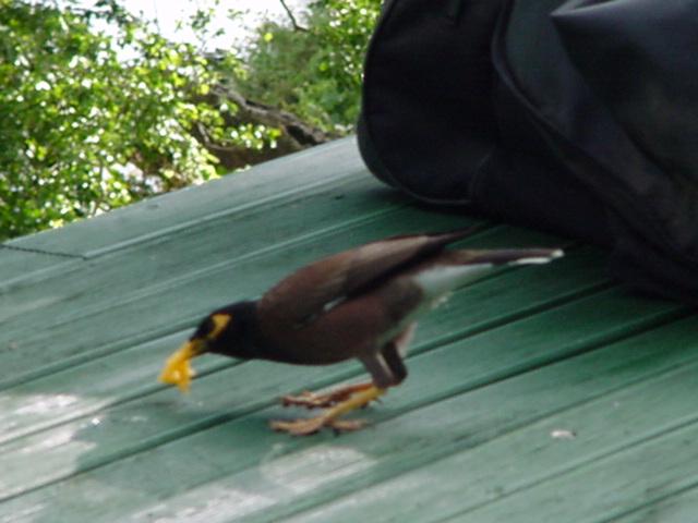 Myna Bird, eating papaya on the lanai, Lomalagi Resort, Vanua Levu, Fiji Islands - Click for larger image (https://jamesmcgillis.com)