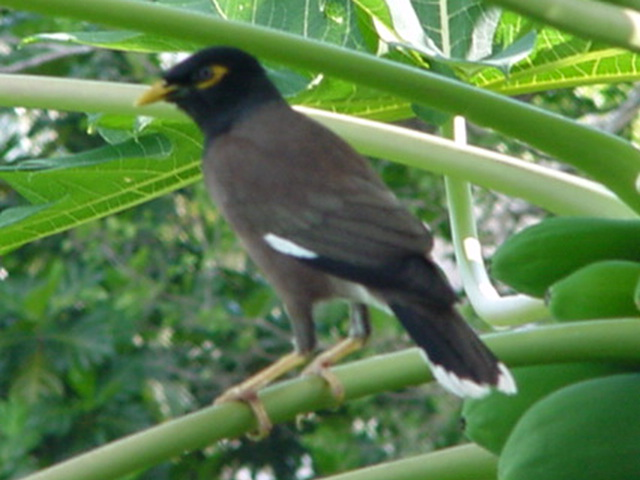 Myna Bird in a papaya tree on the lanai, Lomalagi Resort, Vanua Levu, Fiji Islands - Click for larger image (http://jamesmcgillis.com)
