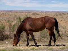 "This ""wild horse"" near Hovenweep National Monument looks more like an abandoned thoroughbred than the traditional Indian Paint pony - Click for larger image, showing a brand on his haunch (http://jamesmcgillis.com)"