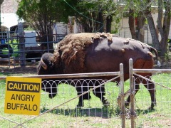 The Great American Bison does not react well to being caged or fenced-in - Click for larger image (htp://jamesmcgillis.com)