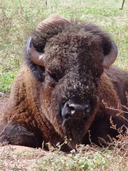 The Great American Bison - symbol of open prairies and unfenced grasslands in North America - Click for larger image (http://jamesmcgillis.com)