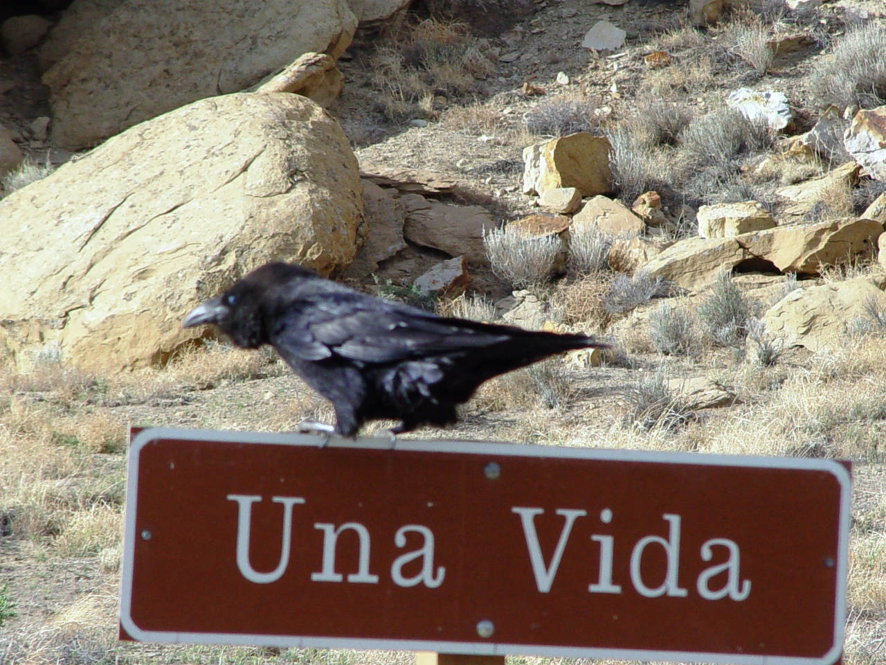 A common raven perched atop a sign, pointing the way to the Una Vida Ruin - Click for larger image (https://jamesmcgillis.com)