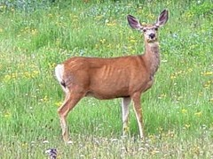 Female Mule Deer, standing alert in a meadow - Click for larger image (http://jamesmcgillis.com)