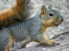 Humans bear responsibility for the care and perpetuation of all natural species here on earth (Gray Squirrel, pictured) - Click for larger image (http://jamesmcgillis.com)