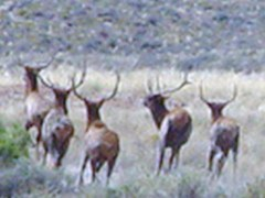 The Chaco Canyon Elk Herd near Kin Klizhin Ruin - Click for larger image (http://jamesmcgillis.com)