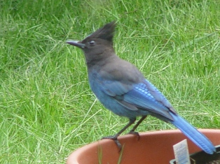 Never feed a wild Steller's Jay. They are a prime forager in the coastal forests of Southern Oregon and do not need any additional food from humans. - Click for larger Image (http://jamesmcgillis.com)